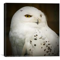 Snowy Owl (Bubo scandiacus), Canvas Print