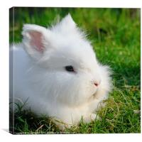 Angora rabbit, Canvas Print