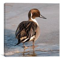 Northern Pintail (Anas acuta), Canvas Print