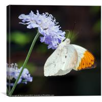 Orange-tip (Anthocharis cardamines), Canvas Print
