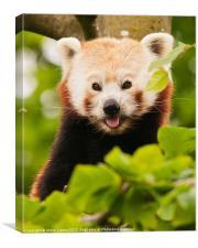 Red panda (Ailurus fulgens), Canvas Print
