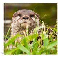 Asian small-clawed otter (Aonyx cinerea), Canvas Print