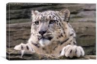 Snow leopard (Panthera uncia), Canvas Print