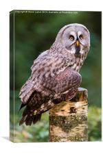 Great grey owl (Strix nebulosa), Canvas Print