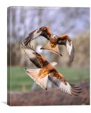 Red kites (Milvus milvus), Canvas Print
