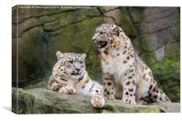 Snow leopards (Panthera uncia), Canvas Print