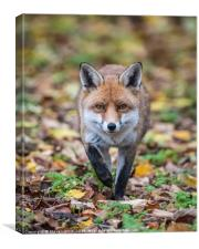 Red fox (Vulpes vulpes), Canvas Print