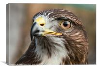Common Buzzard (Buteo buteo), Canvas Print