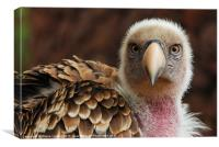 Griffin Vulture (Gyps fulvus), Canvas Print