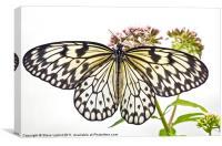 Paper Kite butterfly (Idea leuconoe), Canvas Print