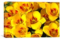 Easter Tulips, Canvas Print