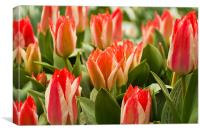 Tulips blooms, Canvas Print