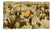Yellow Tulips Isolation, Canvas Print
