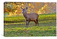 Young Red Deer Stag, Canvas Print