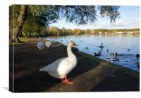 Geese at Linlithgow Loch, Canvas Print