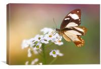 Golden butterfly, Canvas Print