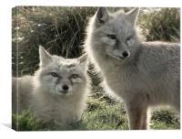 Corsac Fox Pair in Winter, Canvas Print