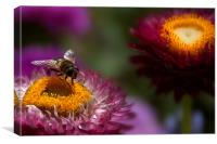 A wasp feeding on an everlasting flower., Canvas Print