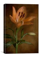 lily flower in bloom, Canvas Print