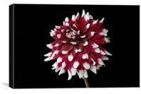 dahlia with red and white petals, Canvas Print