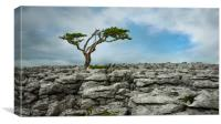 Juniper tree yorkshire dales, Canvas Print