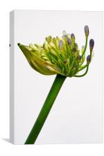 agapanthus in bloom, Canvas Print
