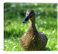 Mallard Duck, Canvas Print