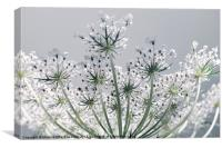 Inflorescence in umbels, Canvas Print