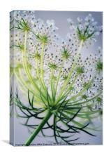 Wild carrot flower, Canvas Print