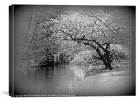 White Flowering Japanese Cherry Tree, Canvas Print