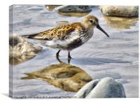 The Dunlin, Canvas Print