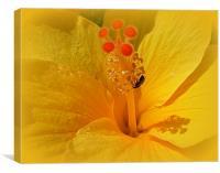 Yellow Hibiscus., Canvas Print
