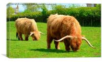 Highland Cattle Grazing., Canvas Print