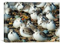 Sanderlings on the Beach., Canvas Print