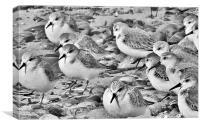 Sanderlings at Fleetwood. , Canvas Print