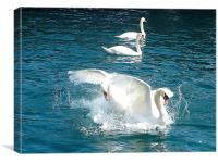 Swans fighting. , Canvas Print