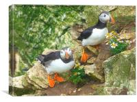 Puffins on the Cliffs.. , Canvas Print