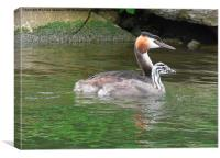 A Great Crested Grebe and it's chick., Canvas Print