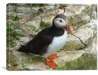 Atlantic Puffin at Bempton Cliffs.  , Canvas Print