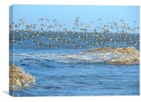 Sanderlings in Flight., Canvas Print