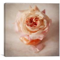 Shropshire lad rose with rose quartz crystals, Canvas Print