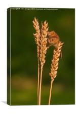 Harvest mouse., Canvas Print