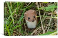 Weasel in the grass.