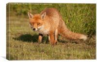 Fox in the grass., Canvas Print
