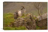 Mountain goat., Canvas Print