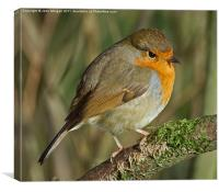 Robin redbreast., Canvas Print