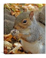 Grey squirrel., Canvas Print