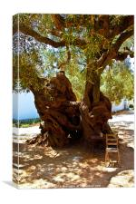 1,800 Year Old Olive Tree, Canvas Print