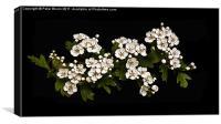 White Hawthorn Blossom on Black B/G, Canvas Print