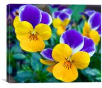 Pansy's Close-up, Canvas Print